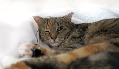 고양이 포도막염의 원인, 증상 및 치료
