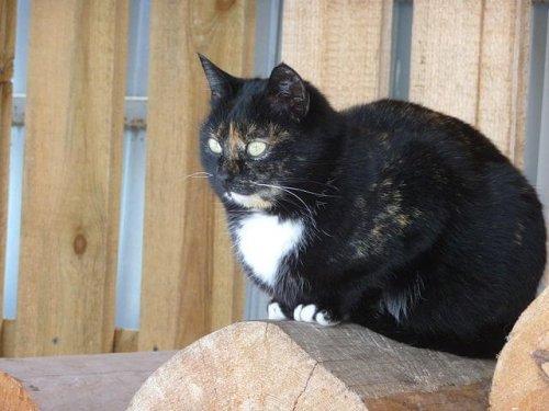 재패니즈밥테일 고양이 이야기