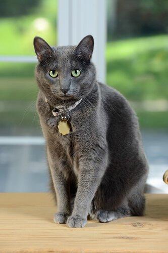 아름다운 고양이 품종, 코랫