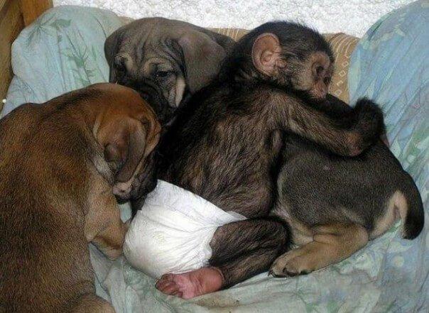 고아가 된 침팬지를 구한 개의 이야기