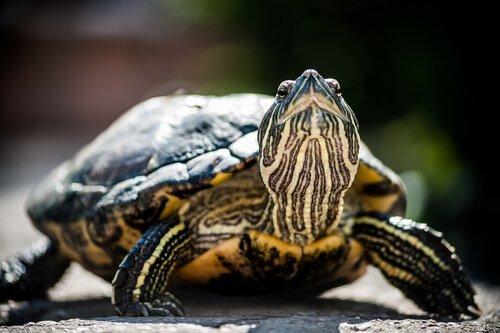 멸종 위기에 처한 거북들