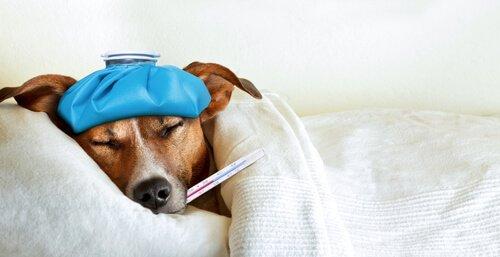 개 수막염의 원인, 증상 및 치료 방법