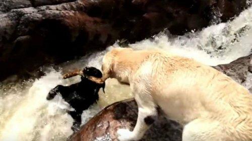 강물에 빠진 강아지를 구한 래브라도 이야기
