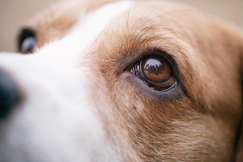 개 홍안병의 증상, 예방 및 치료