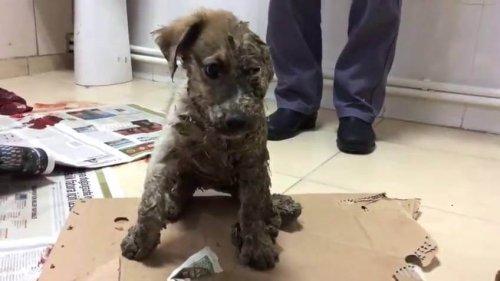 접착제와 진흙을 뒤집어쓰며 학대당한 강아지, 파스칼