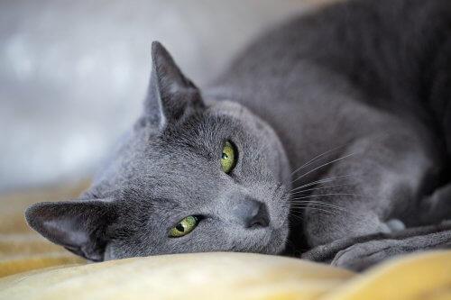 단모종 고양이 품종