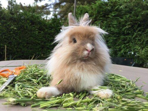 라이언 헤드 토끼 키우기