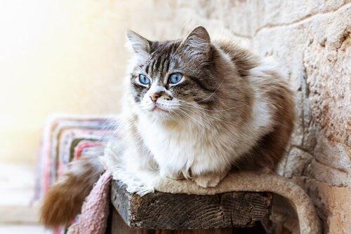 장모종 고양이 종류