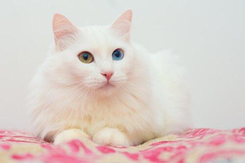 장모종 고양이 품종