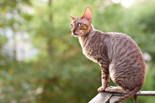 재패니즈밥테일 단모종 고양이 품종