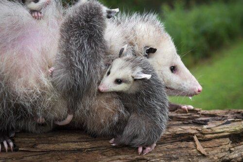 주머니쥐는 어떤 동물일까?
