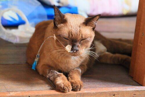 고양이에게 가장 흔한 암의 종류