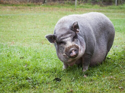베트남 미니돼지를 반려동물로 키우기