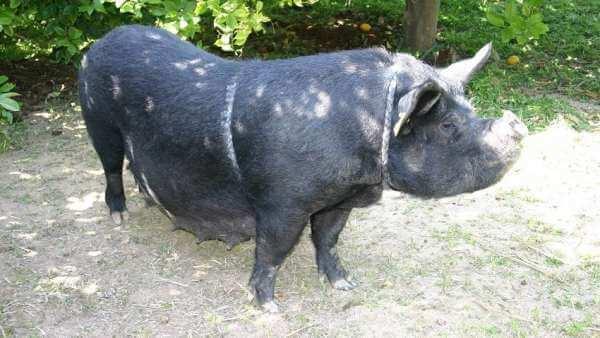 스페인 발렌시아 지방의 가축 품종