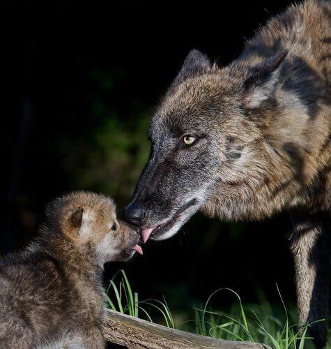 멸종 위기에 처한 이베리아 늑대