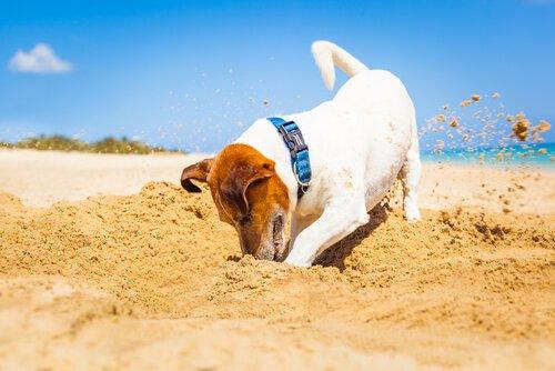 모래를 파는 개
