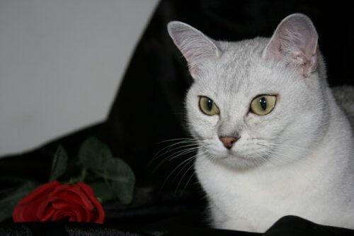 버밀라 고양이의 특징