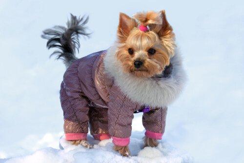 요크셔테리어의 겨울 옷차림