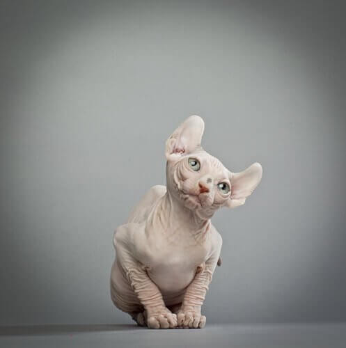 털이 없고 곡선 귀를 가진 엘프 고양이는 어떤 고양이일까?