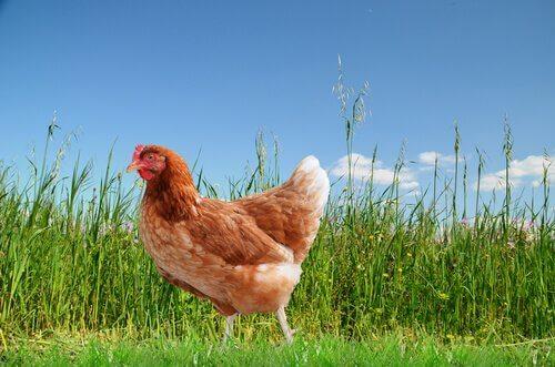 암탉이 낳는 달걀의 품질을 향상시키는 요소