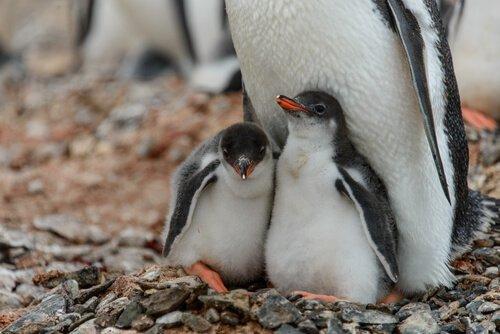 멸종 위기에 처한 펭귄을 입양하기