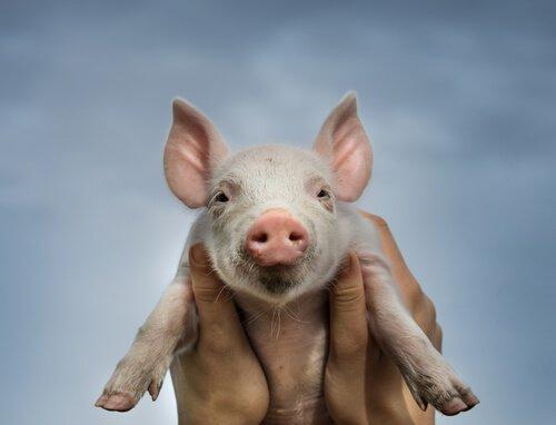 돼지 십이지에 속하는 동물들