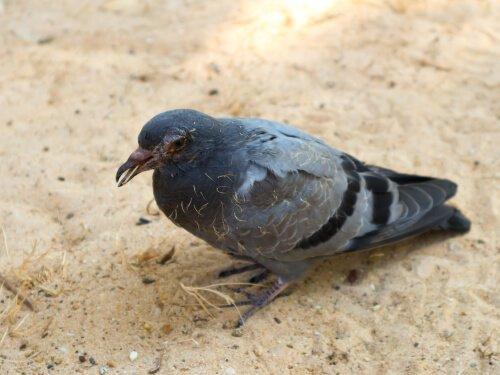 비둘기가 가진 질병