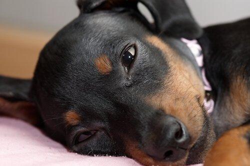 개 결막염의 최초 증상 및 대처 방법