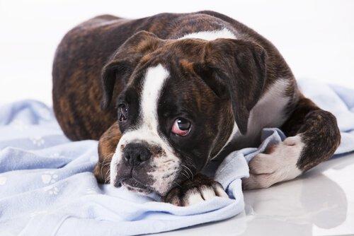 개에게 전염성 종양이 있는가?