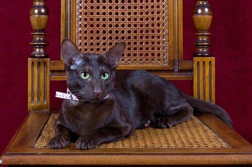 시가와 커피처럼 갈색을 띠는 하바나브라운 고양이
