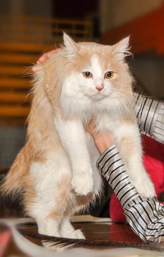 꼬리가 없는 킴릭 고양이는 어떤 고양이일까?