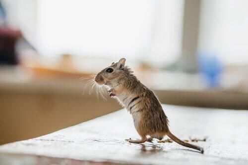 게르빌루스쥐를 위한 매우 독특한 이름들