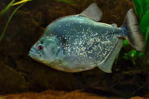 무서운 물고기, 피라냐에 대해서 알아보자
