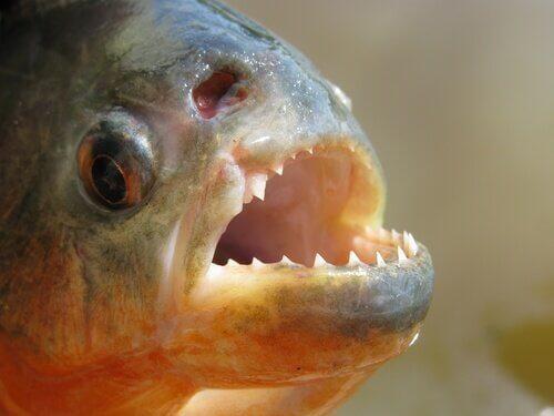무서운 피라니아는 어떤 물고기일까?