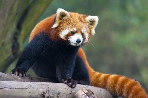 너구리판다 중국 출신 동물 5종