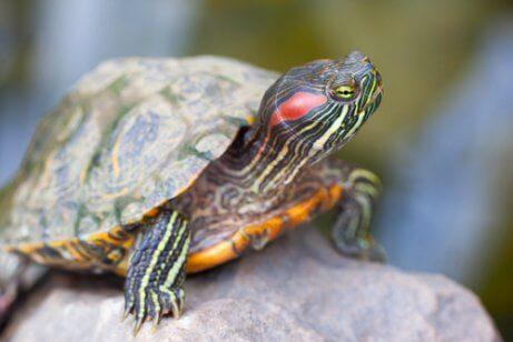 수생 거북은 왜 반려동물로 키우기 어려울까?