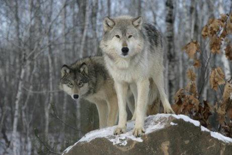 개의 분류학: 개는 늑대와 얼마나 비슷할까?