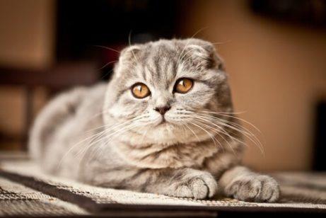 스코티시폴드 고양이 독특하고 이국적인 고양이 5종