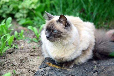 발리네즈 고양이