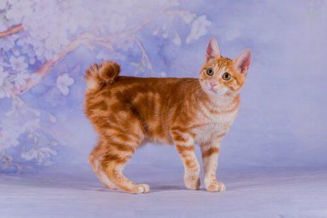 재패니즈 밥테일 아시아 고양이 품종 5가지
