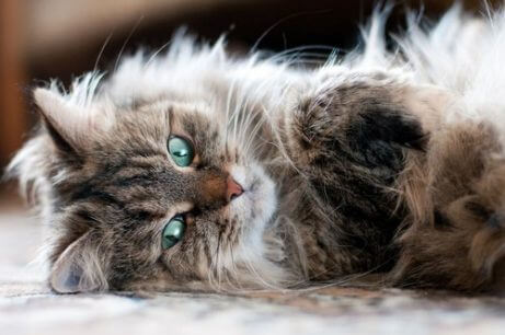 털갈이를 하지 않는 고양이 품종