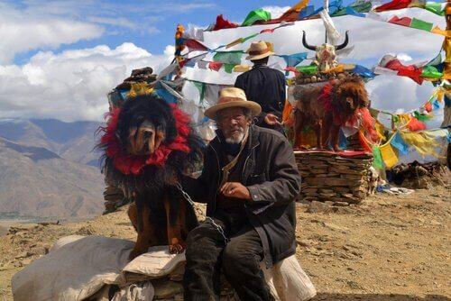 티베탄 마스티프: 세상에서 가장 비싼 개의 슬픈 이야기