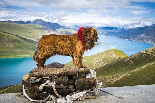 티베트 마스티프 세상에서 가장 비싼 개의 슬픈 이야기