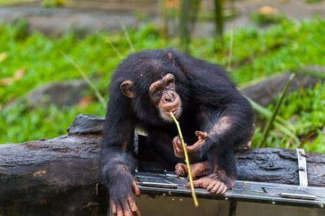 창을 사용하는 퐁골리 침팬지