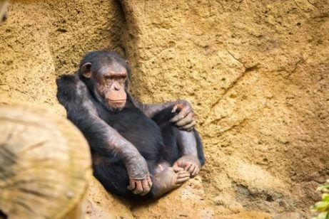 휴식중인 침팬지