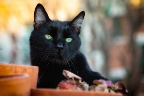 검은 고양이에 관한 흥미로운 신화들