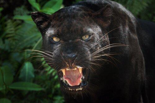 흑표범은 어떤 점에서 흥미로운 동물일까?