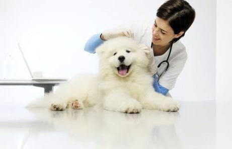 개 심장사상충증의 치료와 예방