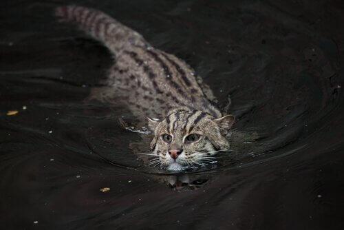 고기잡이 살쾡이, 멸종 위기의 고양이