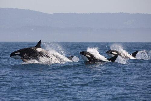 돌고래가 주변에 범고래가 있다는 사실을 감지하는 방법